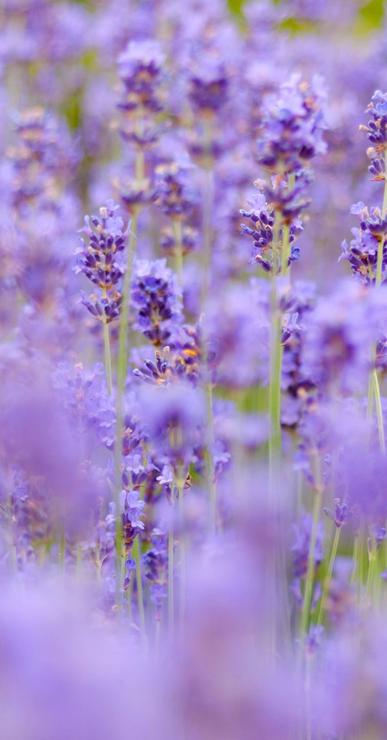 Tasmanian Lavender