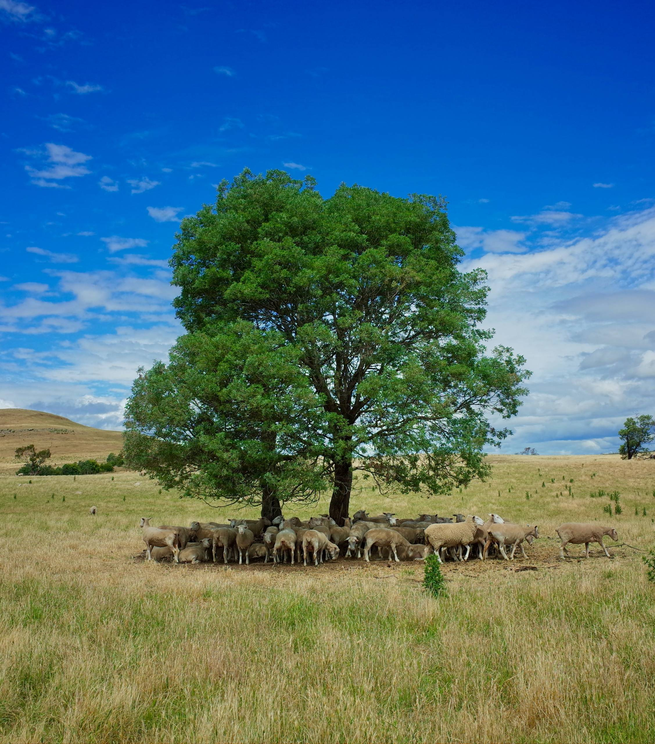 sheep under a tree tasmania